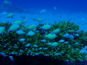 Blue-Chromis-Okinawa-Diving
