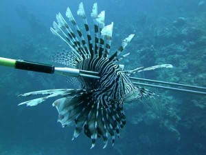 Lionfish-spearednotxt