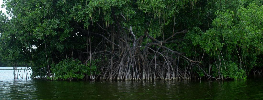 Red-Mangrove-tree
